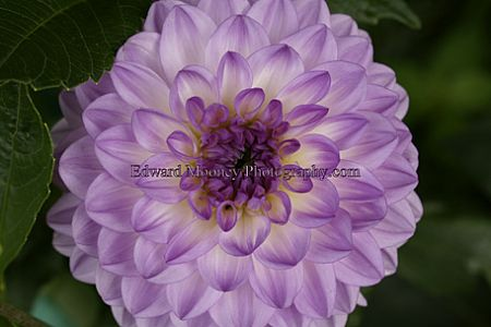 Purple / Yellow Dahlia